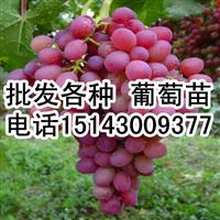 出售葡萄苗品种有:贝达,巨峰,蜜汁,茉莉香