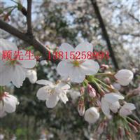苏州樱花树日本染井吉野樱、苏州绿化苗圃