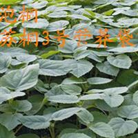 供应营养袋泡桐苗