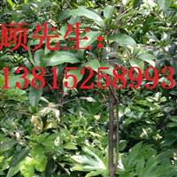 无锡庭院景观设计绿化公司桂花树苗木批发