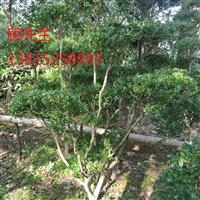 苏州别墅庭院绿化别墅果树造型树