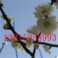 苏州别墅绿化工程、苏州梅花树、庭院景观绿化