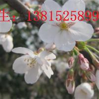 苏州庭院景观绿化工程、景观树市场日本樱花