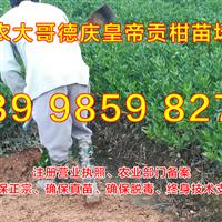 桂林贡柑苗