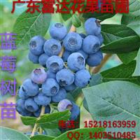 供应蓝莓苗