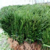 出售东北红豆杉苗木