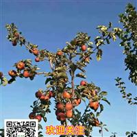 上海红肉苹果苗 种子  山瓜瓜