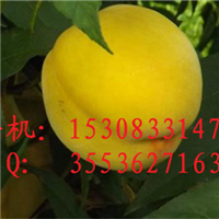 黄金桃子苗基地 昆明黄桃苗批发