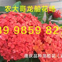 惠州龙船花