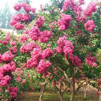 紫薇|紫薇基地-小胡雪松苗木基地