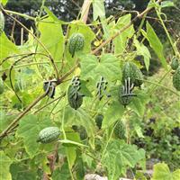 特色西瓜品种,拇指西瓜种子批发