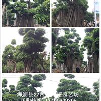 福建漳州全冠造型小叶榕桩头
