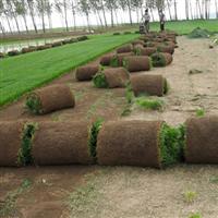 供应冷季型草坪,四季青,早熟禾,高羊茅
