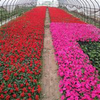 江西省南昌市哪里有农户种植时令花卉草花卖