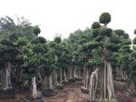 漳州嫁接全冠榕树桩头景观树