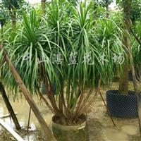 龙血树,室内绿化,庭院绿化,园林,市政绿化