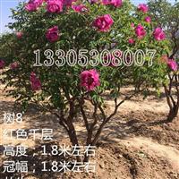 20年至200年以上牡丹树
