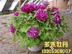 催花牡丹多品种四季开花