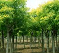 专业供应园林、小区绿化苗木