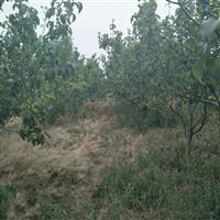 供应:梨树,桃树,核桃树