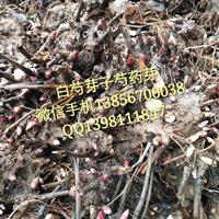 批发白芍芽子  供应芍药种子