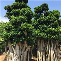 漳州造型小叶榕桩头