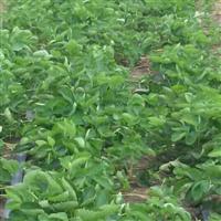 牛奶草莓苗产地 草莓苗基地供应