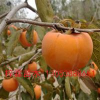 批发供应甜柿合柿盘柿小苗种苗