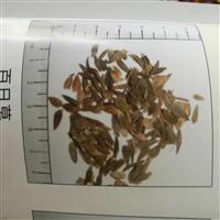 百日草种子价格一览表