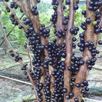 供应全球嘉宝果苗 与树葡萄苗一号园