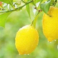 供应北京1号柠檬苗 香水柠檬苗 四季柠檬