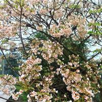 供应油桐树产区 千年桐苗种子种苗价格