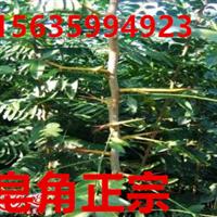 绛县连翘苗//绛县一年连翘苗15635994923