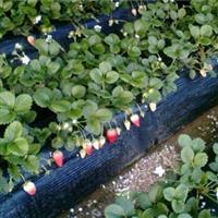 批发优质草莓苗 品种纯正