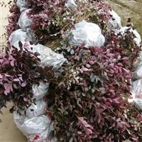 江西省哪里有红花继木容器苗大小杯,精球卖