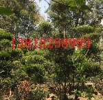 苏州小区绿化、苏州别墅绿化、苏州绿化工程