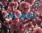 苏州光福梅花、红绿梅、梅花树、梅花盆景