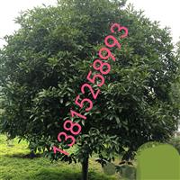 庭院景观绿化设计、别墅绿化公司、苏州桂花