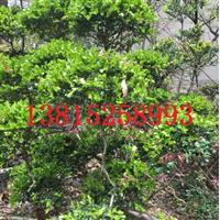 庭院景观绿化、别墅果树造型树