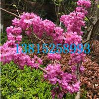 花园园林绿化工程、苏州桂花树,苏州造型树