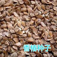 红油香椿种子价格及育苗技术