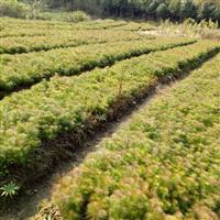 求购湿地松小苗,江西供应一年生湿地松20高