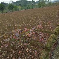 求购枫香小苗,江西供应一年生湿地松20高