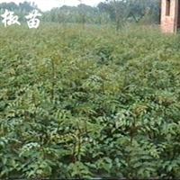 花椒苗,优质花椒苗