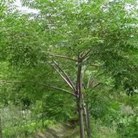供应苦炼木苗和苦楝树苗 玉林市苦练树苗