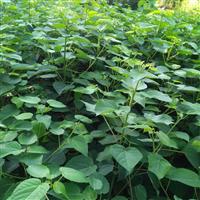优质山桐子苗 各种规格 大量供应