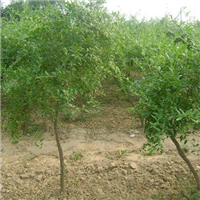 天津枸杞苗基地 枸杞苗种植技术