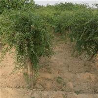 枸杞苗种植技术 枸杞苗批发