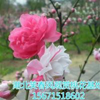 观赏桃树观赏桃树