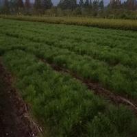 小苗、湿地松小苗,江西湿地松20-150高小苗